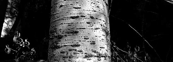 Aspen tree at Sword Lake<br />