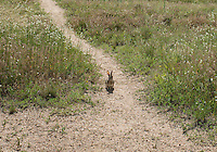 A rabbit at Chatfield Reservoir and Dam, in Littleton, Colorado, Monday, June 23, 2015. The reservoir and dam were built by the United States Army Corps of Engineers as a response to a flooding of the South Platte River in 1965. In addition to its primary purpose of flood control, it serves as one of many water supply reservoirs for the city of Denver, Colorado. <br /> <br /> Photo by Matt Nager