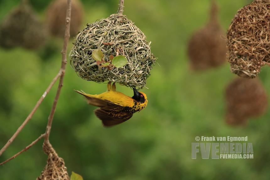 Village Weaver (Ploceus cucullatus).Weaving a nest. Summer, December 2007.Hluhluwe Imfolozi Game Reserve, KwaZulu Natal, South Africa.