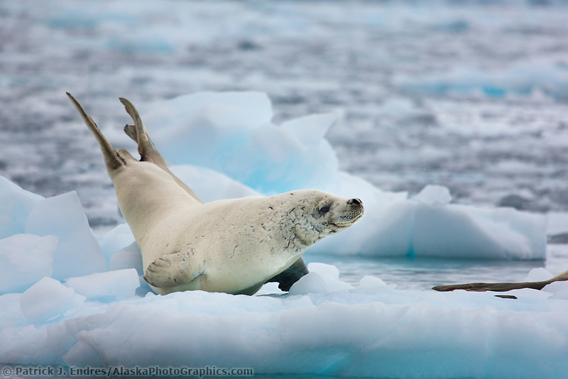Crabeater seal on iceberg, Cierva Cove, western side of the Antarctic Peninsula.