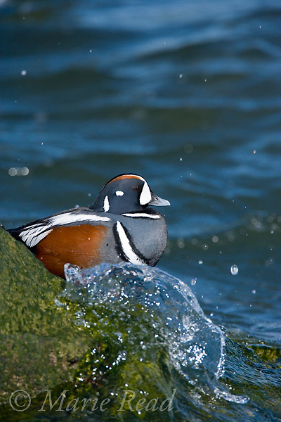 Harlequin Duck (Histrionicus histrionicus) male in breeding plumage, with splashing wave, Barnegat Inlet, New Jersey, USA