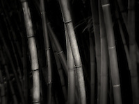 Bamboo. Oregon