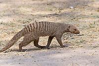 Banded Mongoose, Etosha National Park, Namibia