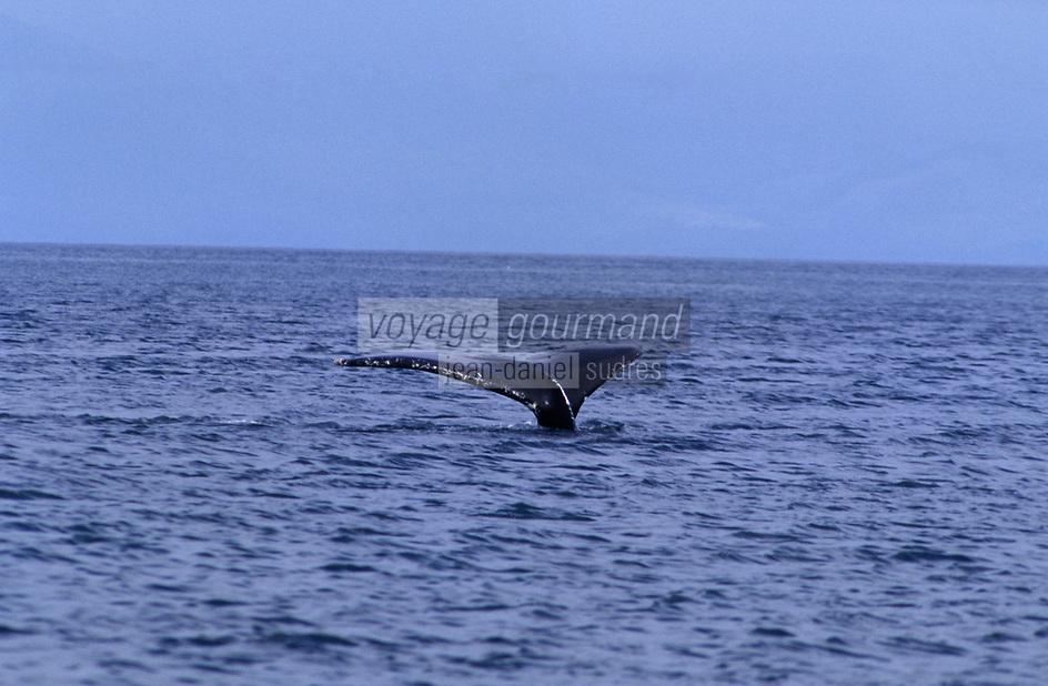 USA/Etats-Unis/Alaska/Gustavus : Baleine
