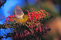 Native Hawaiian bird Amakihi, (hemignathus virens)