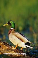 00729-02105 Mallard (Anas platyrhynchos) male on log in wetland   Marion Co.  IL