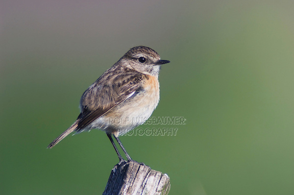 Common Stonechat, Saxicola torquata,female perched, National Park Lake Neusiedl, Burgenland, Austria, April 2007
