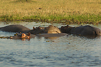 Hippopotamus.  Hippos spend most of their day in water deep enough to cover them because their thin, naked skin is vulnerable to overheating and dehydration,  Okavango Delta, Botswana Africa.