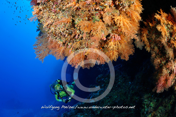 Dendronephthya sp., Korallenriff mit buten Weichkorallen und Taucher, Wrack Aidia, Coralreed and Softcoral and Scuba diver on Wreck Aida, Brother Islands, Brothers, Marsa Alam, Rotes Meer, Ägypten, Red Sea Egypt