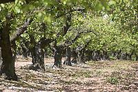 Europe/France/Bourgogne/Env d'Auxerre/Vaux: Cerisiers et vergers de l'auxerrois