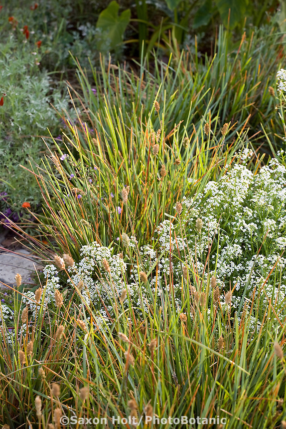 Sesleria heufleriana - Blue-green Moor Grass in meadow in Southern California garden with Sweet Alyssum filler