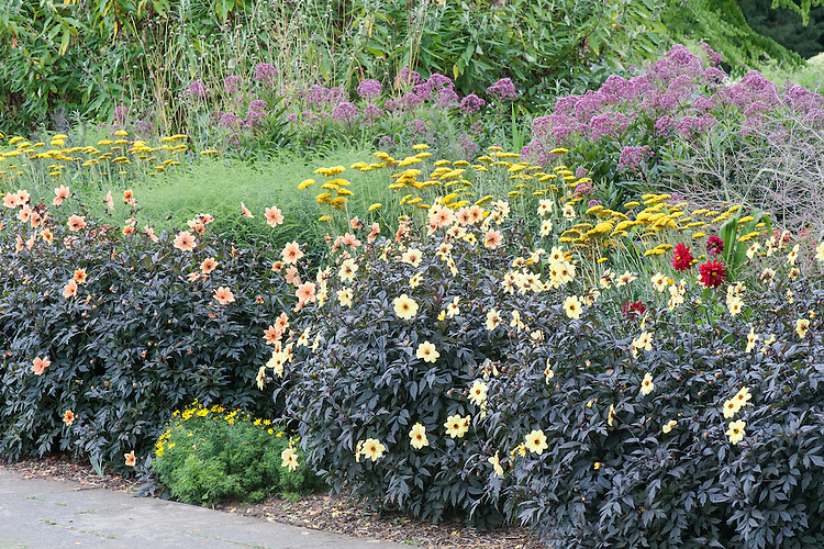 'Mystic' series Dahlias and Achillea 'Coronation Gold' in a mixed herbaceous border at Great Comp, Kent, mid August.