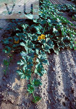 Pumpkin field ,Cucubita pepo,