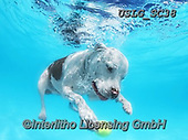 REALISTIC ANIMALS, REALISTISCHE TIERE, ANIMALES REALISTICOS, dogs, paintings+++++SethC_JAKE_MG_5414highrev,USLGSC38,#A#, EVERYDAY ,underwater dogs,photos,fotos ,Seth