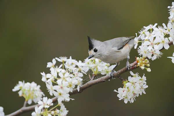 Black-crested Titmouse (Baeolophus atricristatus), adult on blooming Mexican Plum (Prunus mexicana), New Braunfels, San Antonio, Hill Country, Central Texas, USA