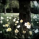 Daffodils round a tree