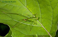 0110-0915  Male Scudder's Bush Katydid with Forked Subgenital Plate, Scudderia spp.  © David Kuhn/Dwight Kuhn Photography