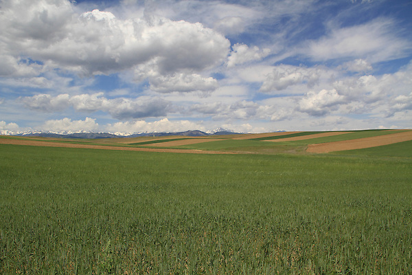 Winter wheat along the Front Range, Boulder, Colorado, USA.