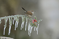 Bewick's Wren (Thryomanes bewickii), adult perched on icy branch of Christmas cholla (Cylindropuntia leptocaulis), Hill Country, Texas, USA