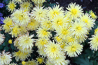 Chrysanthemum Sea Urchin, in creamy yellow flowers