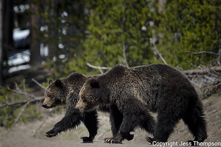 Grizzly Bear with Cub in Yellowstone