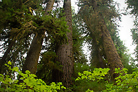 Western hemlock, Douglas fir, Western red cedar and Sitka spruce — the four major conifers of the temperate rainforest — line up in a row. Location: Quinault Rain Forest Trail, Olympic National Forest, Washington, US