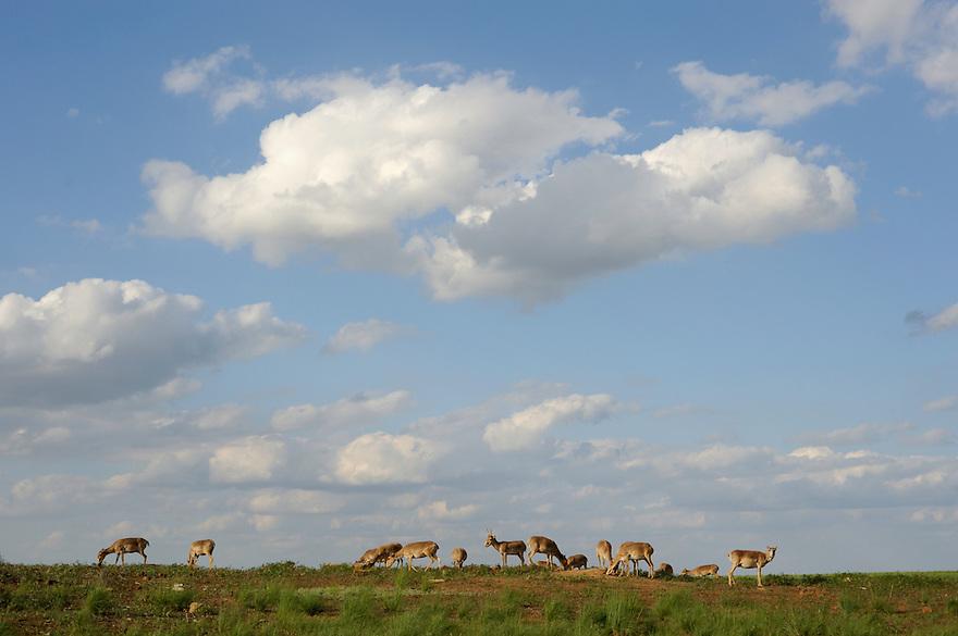 Mission: Saiga.Saiga herd (Saiga tatarica) on salt lick in the steppe in Cherniye Zemly (Black Earth) Nature Reserve, Kalmykia, Russia, May 2009.Saiga tatarica