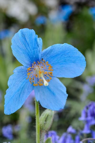 Meconopsis (Fertile Blue Group) 'Lingholm'