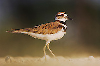 Killdeer, Charadrius vociferus, adult, Willacy County, Rio Grande Valley, Texas, USA, June 2006