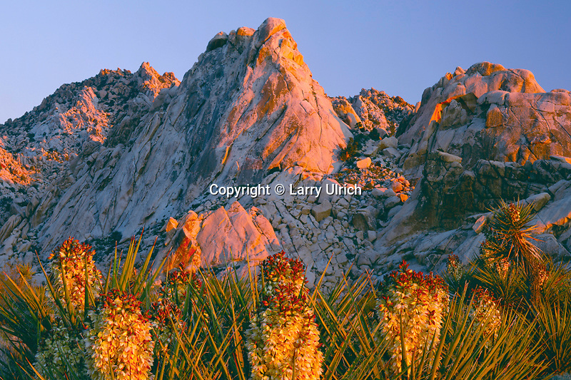 Mohave yucca<br />