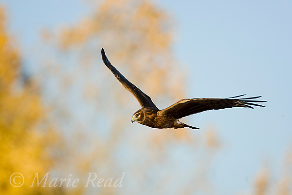 Northern Harrier (Circus cyaneus) immature in flight in autumn, Bosque Del Apache National Wildlife Refuge, New Mexico, USA