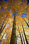 A Quaking Aspen (Populus tremuloides) grove reaches to the sky in the Kachina Peaks Wilderness Area.