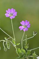 Hedgerow Cranesbill - Geranium pyrenaicum