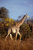 Mikumi Game Reserve, Tanzania. Pregnant giraffe with trees behind.