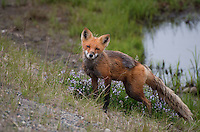 A red fox takes a brief break from hunting during Alaska's short summer north of the Arctic Circle.
