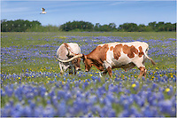 This picture of Longhorns in Bluebonnets comes from Ennis, Texas, in the spring of 2013. Cowbirds were everywhere - always around the longhorns and ready for an easy meal. These two longhorns were gently rubbing heads, and the field Texas wildflowers was blue and beautiful on this April morning.