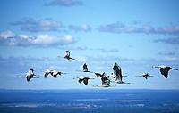 Kranich, Voegel, Vogelzug, Wanderung, Mecklenburg- Vorpommern, fliegende Kraniche