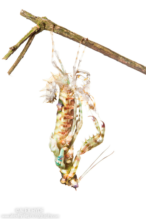 Spiny Flower Mantis {Pseudocreobotra wahlbergii} shedding skin. Captive, originating from Africa.