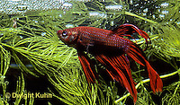 BY03-001z  Siamese Fighting Fish - male making protective bubble nest for eggs - Betta splendens