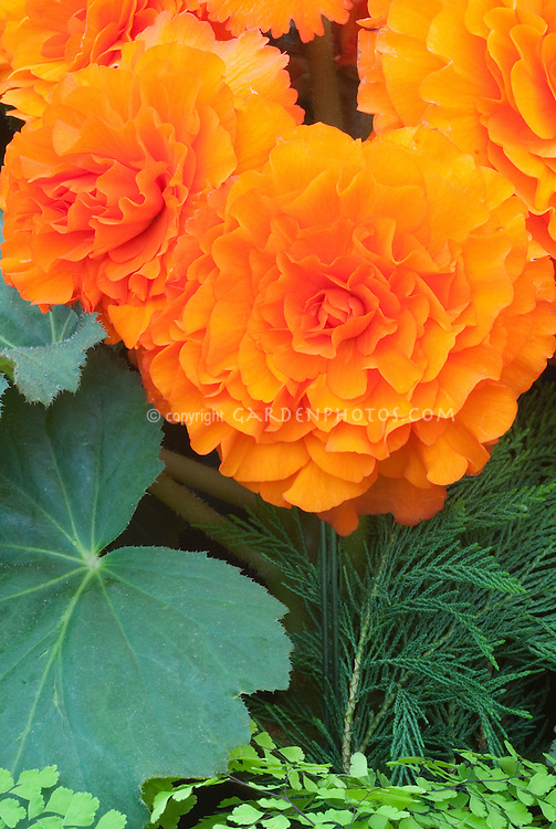 Begonia 'Sceptre' tuberous (orange frilled)