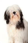 Polish Lowland Sheepdog - Fudge