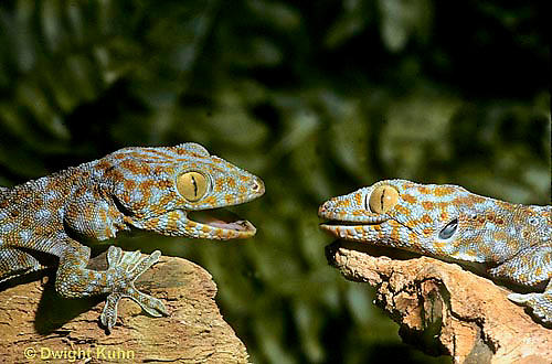 GK02-018z  Tokay Gecko - uttering threatening sound at intruder, defending territory  - Gekko gecko