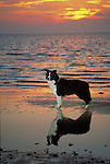Border Collie<br /> <br /> <br /> Shopping cart has 3 Tabs:<br /> <br /> 1) Rights-Managed downloads for Commercial Use<br /> <br /> 2) Print sizes from wallet to 20x30<br /> <br /> 3) Merchandise items like T-shirts and refrigerator magnets