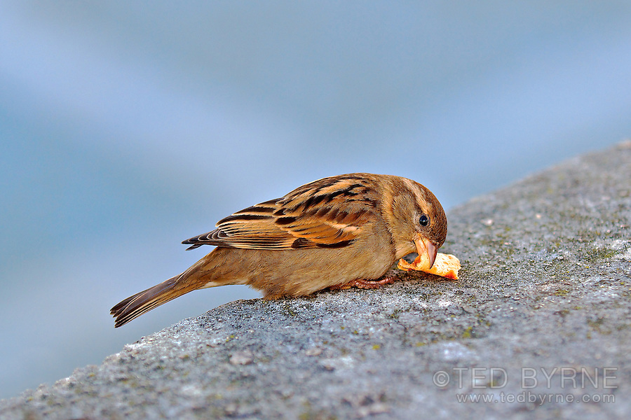 Small brown bird eating piece of crepe