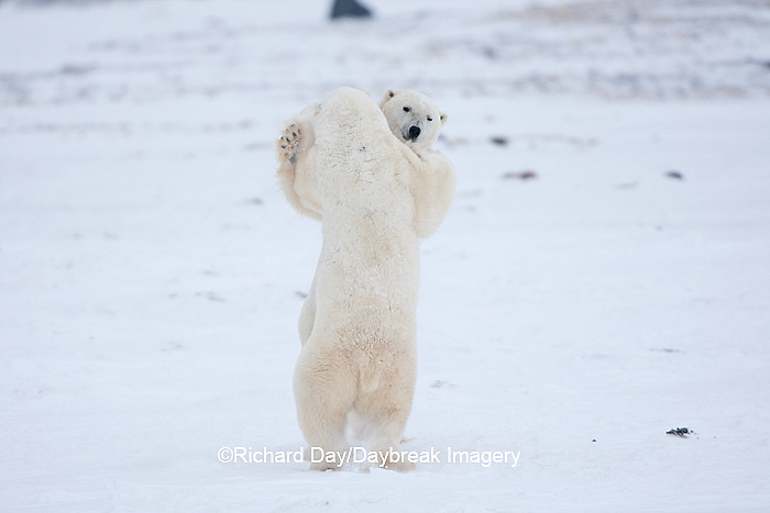 01874-11818 Polar Bears (Ursus maritimus) sparring / fighting in snow, Churchill Wildlife Management Area, Churchill, MB Canada