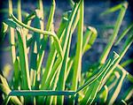1.14.14 - Green Onions..