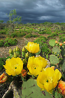 Texas Prickly Pear Cactus (Opuntia lindheimeri), plant blooming during storm, Laredo, Webb County, South Texas, USA