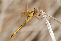 389110002 a wild female needhams skimmer libellula needhamii an anisoptera class insect perches on a dry stick in the rio grande valley in texas