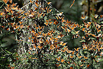 Monarch Butterfly, Danaus plexippus, El Chincua Nature Reserve, thousands resting in trees, migration, roosting site, lifecycle metamorphosis orange pattern wing.Mexico....