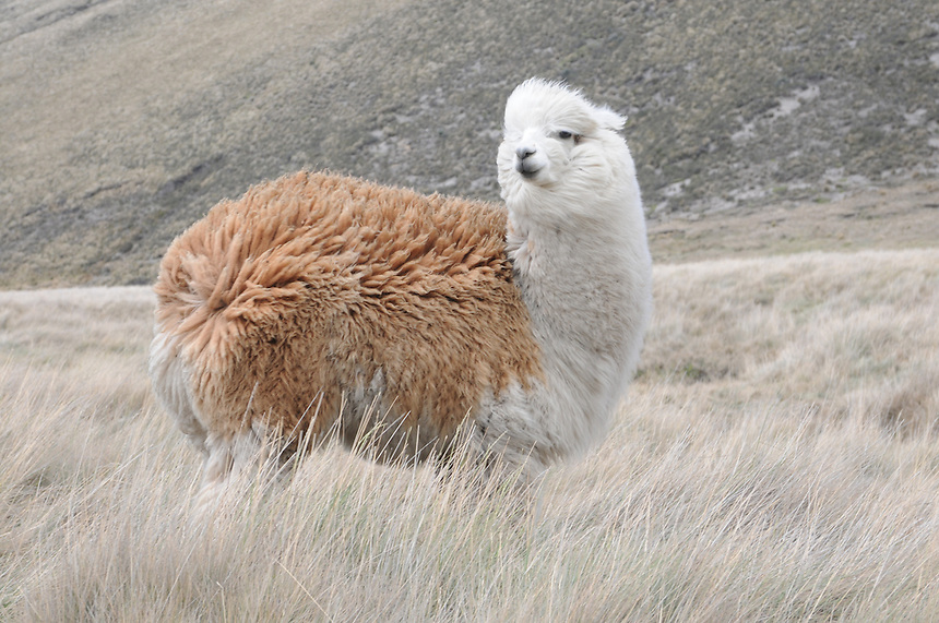 Alpacas on route down from Mount Chimborazo in central Ecuador.